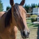 LADY GOLDIE (EL DŽÍ)--Americký  Quarter Horse + Anglický plnokrvník -  kobyla
